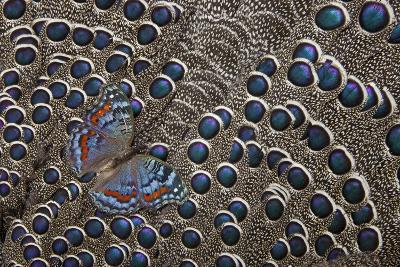 African Gaudy Commodore Butterfly on Grey Peacock Pheasant Feathers-Darrell Gulin-Photographic Print