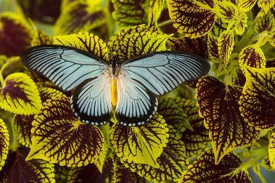 African Giant Blue Swallowtail Butterfly, Papilio Zalmoxis-Darrell Gulin-Photographic Print