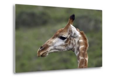 African Giraffes 003-Bob Langrish-Metal Print