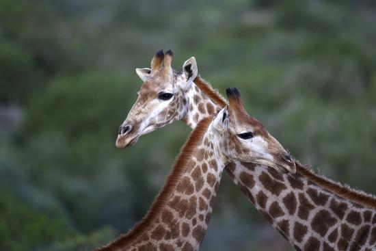 African Giraffes 014-Bob Langrish-Photographic Print