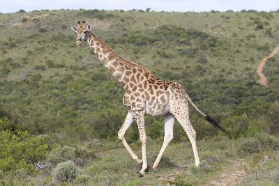 African Giraffes 063-Bob Langrish-Photographic Print