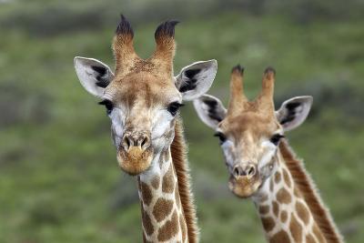 African Giraffes 074-Bob Langrish-Photographic Print