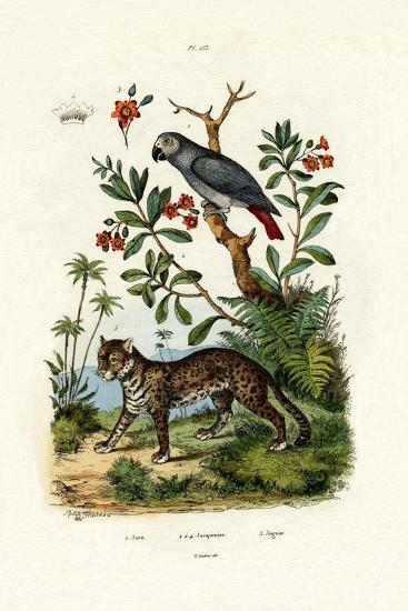 African Grey Parrot, 1833-39--Giclee Print