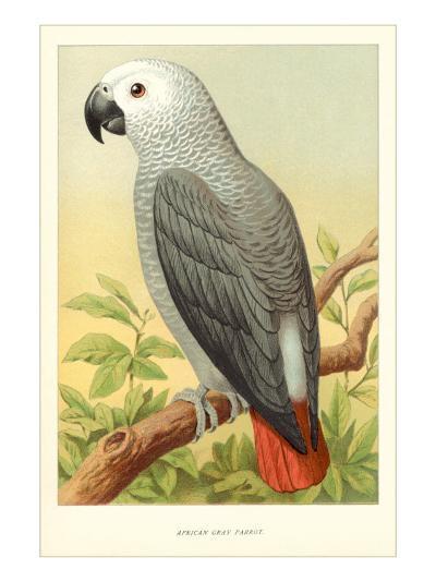 African Grey Parrot--Art Print