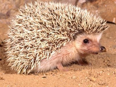 African Hedgehog, Native to Africa-David Northcott-Photographic Print