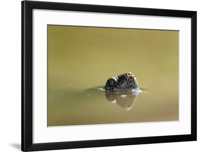 African Helmeted Turtle, Kruger National Park, South Africa-Paul Souders-Framed Photographic Print