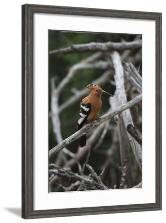 African Hoopoe 01-Bob Langrish-Framed Photographic Print