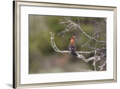 African Hoopoe 02-Bob Langrish-Framed Photographic Print