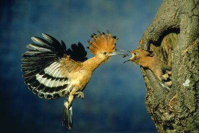 African Hoopoe in Flight Feeding Brooding Partner--Photographic Print