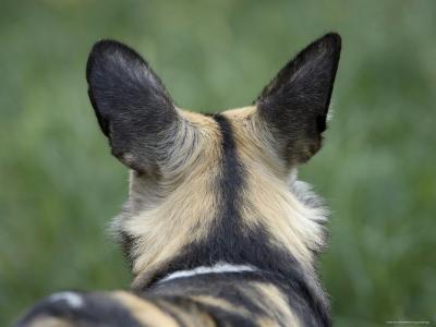 African Hunting Dog from the Sedgwick County Zoo, Kansas-Joel Sartore-Photographic Print
