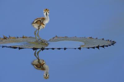 African Jacana (Actophilornis Africana) Chick, One Day, Standing On Leaf-Lou Coetzer-Photographic Print