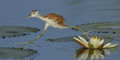 African Jacana (Actophilornis Africana) Chick Running Between Water Lily Pads-Lou Coetzer-Photographic Print