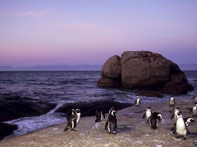 African (Jackass) Penguins, (Sphensiscus Demersus), Cape Town, South Africa, Africa-Thorsten Milse-Photographic Print