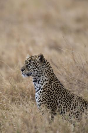 https://imgc.artprintimages.com/img/print/african-leopard-panthera-pardus-pardus-serengeti-national-park-tanzania-east-africa-africa_u-l-q1bse6f0.jpg?p=0