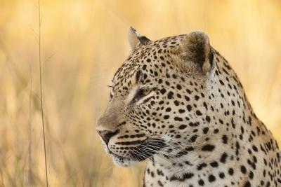 African Leopard-Michele Westmorland-Photographic Print