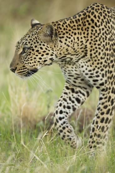 African Leopard-Mary Ann McDonald-Photographic Print