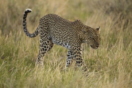 African Leopard-Mary Ann McDonald-Photographic Print