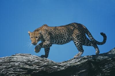 https://imgc.artprintimages.com/img/print/african-leopard_u-l-pzrl4y0.jpg?p=0