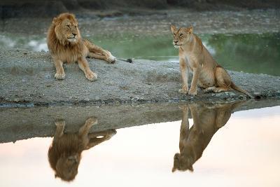 African Lion and Lioness (Panthera Leo), Ndutu, Ngorongoro Conservation Area, Tanzania--Photographic Print