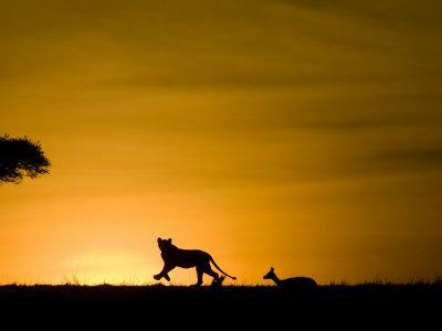 https://imgc.artprintimages.com/img/print/african-lion-chasing-gazelle-masai-mara-kenya_u-l-p864530.jpg?p=0