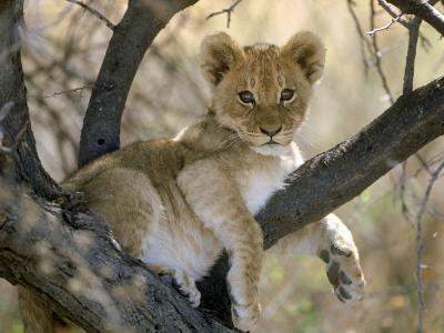 African Lion, Cub, Botswana-Mark Hamblin-Photographic Print