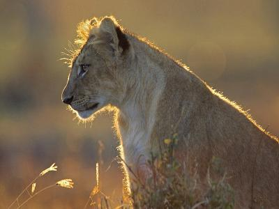 African Lion Cub in the Golden Light, Kenya, Africa-Tim Fitzharris-Photographic Print