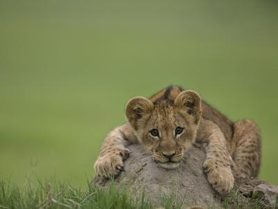 African Lion Cub, Panthera Leo, Lying across a Mound of Soil-Beverly Joubert-Photographic Print