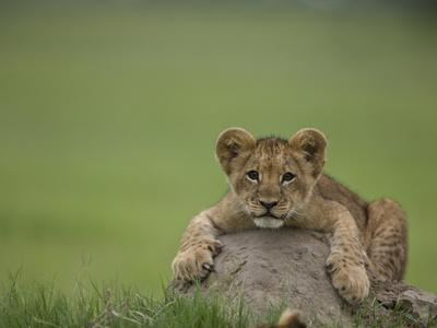 https://imgc.artprintimages.com/img/print/african-lion-cub-panthera-leo-lying-across-a-mound-of-soil_u-l-pevkof0.jpg?p=0