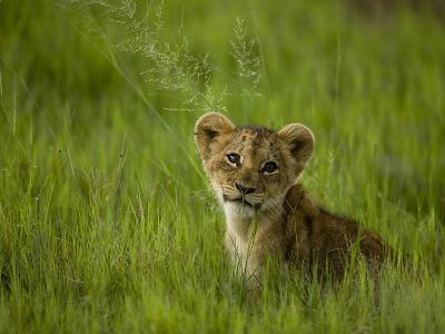 African Lion Cub, Panthera Leo, Portrait in Lush Grass-Beverly Joubert-Photographic Print