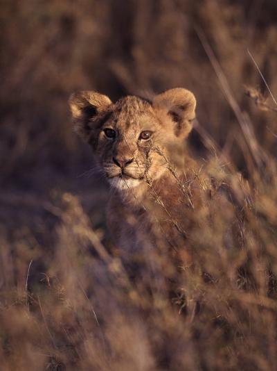 African Lion Cub, Panthera Leo-D^ Robert Franz-Photographic Print