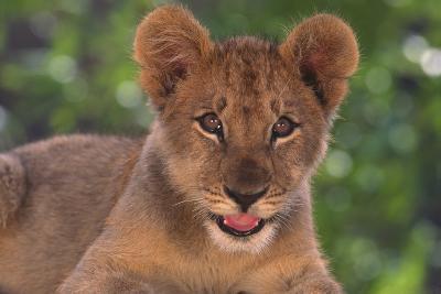 African Lion Cub-DLILLC-Photographic Print