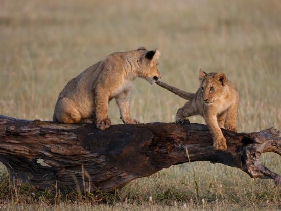 African Lion, Cubs Playing on Log, Kenya, Africa-Daniel J. Cox-Photographic Print