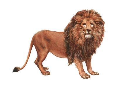 African Lion (Felis Leo Massaica), Mammals-Encyclopaedia Britannica-Art Print