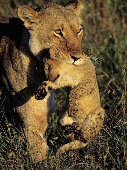 African Lion Female Carrying Her Cub in Her Mouth, Panthera Leo-Joe McDonald-Photographic Print