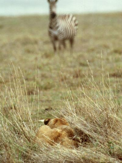 African Lion, Lioness in Ambush, Tanzania-John Downer-Photographic Print