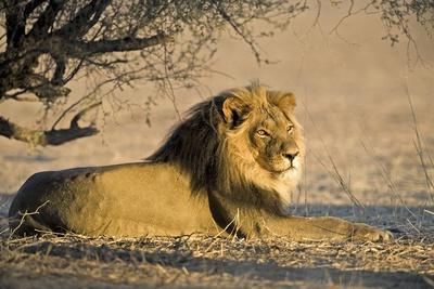 African Lion Male-Tony Camacho-Photographic Print