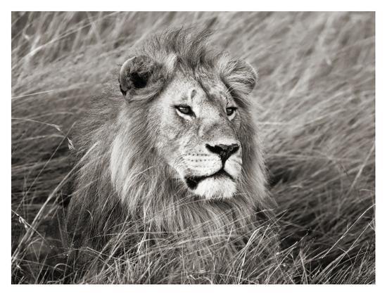 African lion, Masai Mara, Kenya-Frank Krahmer-Art Print