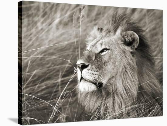 African lion, Masai Mara, Kenya-Frank Krahmer-Stretched Canvas Print
