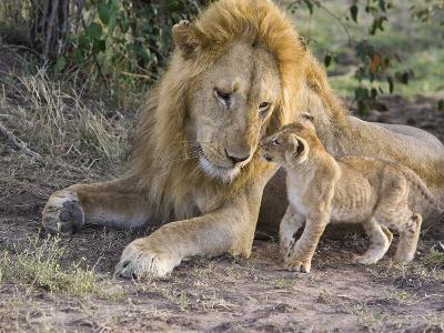 African Lion (Panthera Leo) Cub Approaches Adult Male, Vulnerable, Masai Mara Nat'l Reserve, Kenya-Suzi Eszterhas/Minden Pictures-Photographic Print