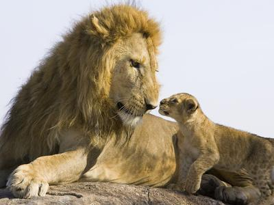 African Lion (Panthera Leo) Cub Approaching Adult Male, Vulnerable, Masai Mara Nat'l Reserve, Kenya-Suzi Eszterhas/Minden Pictures-Photographic Print