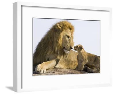 African Lion (Panthera Leo) Cub Approaching Adult Male, Vulnerable, Masai Mara Nat'l Reserve, Kenya-Suzi Eszterhas/Minden Pictures-Framed Photographic Print