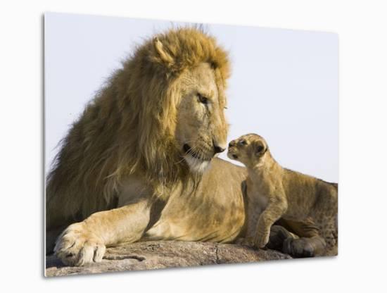 African Lion (Panthera Leo) Cub Approaching Adult Male, Vulnerable, Masai Mara Nat'l Reserve, Kenya-Suzi Eszterhas/Minden Pictures-Metal Print