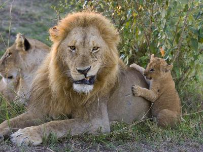 African Lion (Panthera Leo)Cub Playing with Adult Male, Vulnerable, Masai Mara Nat'l Reserve, Kenya-Suzi Eszterhas/Minden Pictures-Photographic Print