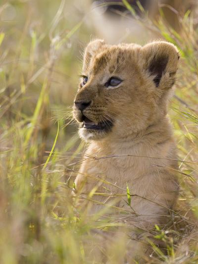African Lion (Panthera Leo) Five to Six Week Old Cub, Vulnerable, Masai Mara Nat'l Reserve, Kenya-Suzi Eszterhas/Minden Pictures-Photographic Print