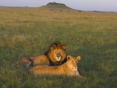 African Lion (Panthera Leo) Male and Female, Masai Mara, Kenya-Suzi Eszterhas/Minden Pictures-Photographic Print