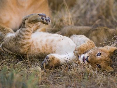 African Lion (Panthera Leo) Playful Cub Sprawling on Back, Masai Mara Nat'l Reserve, Kenya-Suzi Eszterhas/Minden Pictures-Photographic Print
