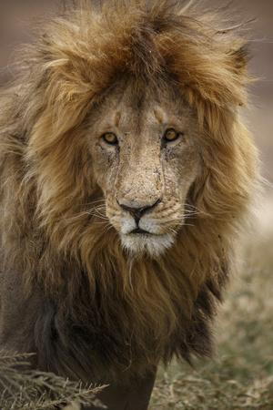 https://imgc.artprintimages.com/img/print/african-lion-panthera-leo-serengeti-national-park-tanzania-east-africa-africa_u-l-q1bsjrm0.jpg?p=0
