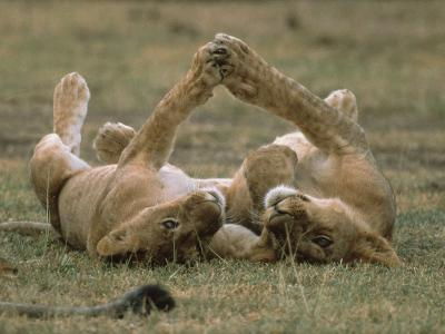 African Lion (Panthera Leo) Two Cubs Playing, Serengeti National Park, Tanzania-Gerry Ellis-Photographic Print