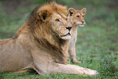 African Lion (Panthera Leo) with its Cub, Ndutu, Ngorongoro Conservation Area, Tanzania--Photographic Print