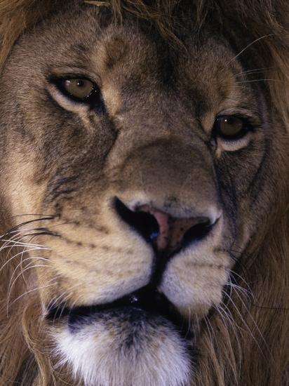 African Lion, Panthera Leo-D^ Robert Franz-Photographic Print
